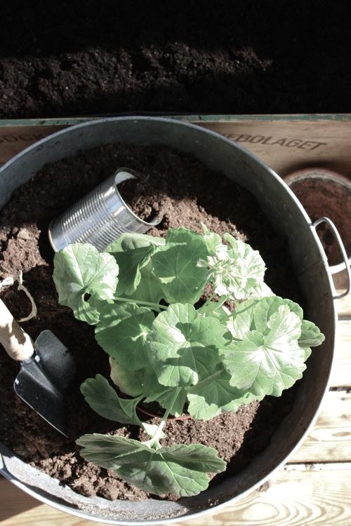 Pelargonplantering på en dålig dag