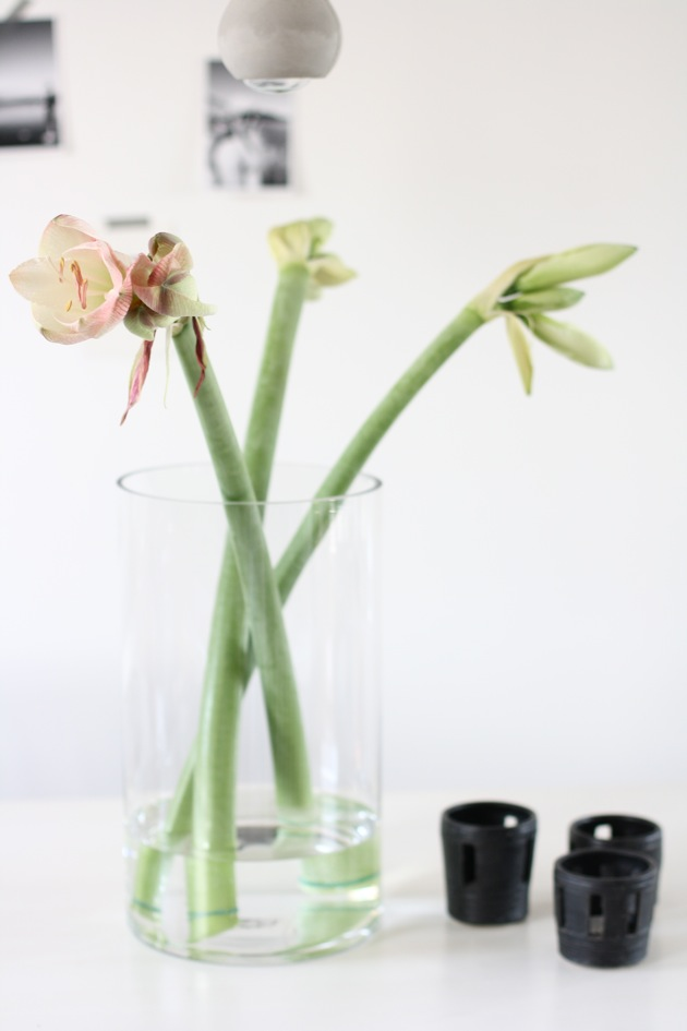 A TIP FOR AMARYLLIS