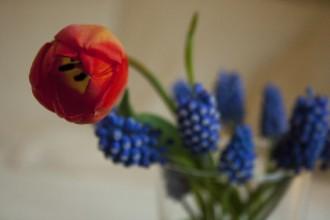 pärlhyacint snittblommor