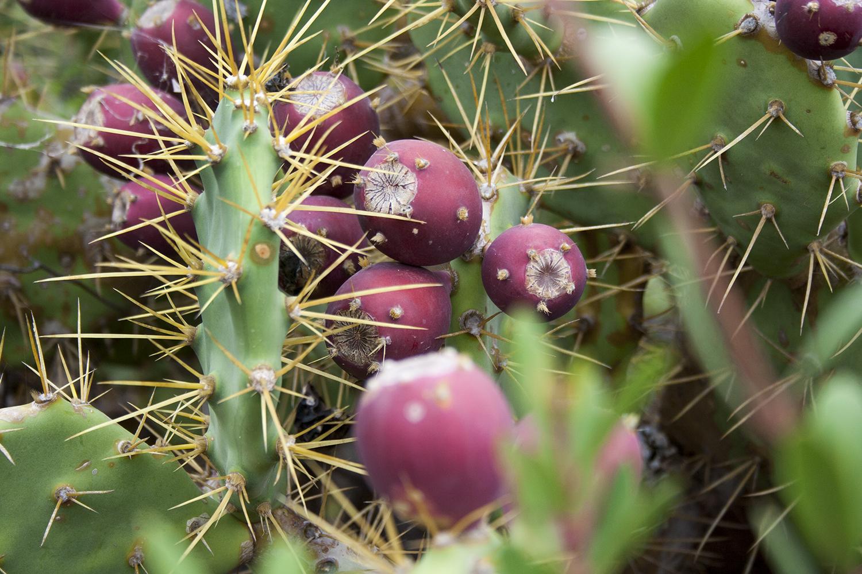 Kaktusfikon