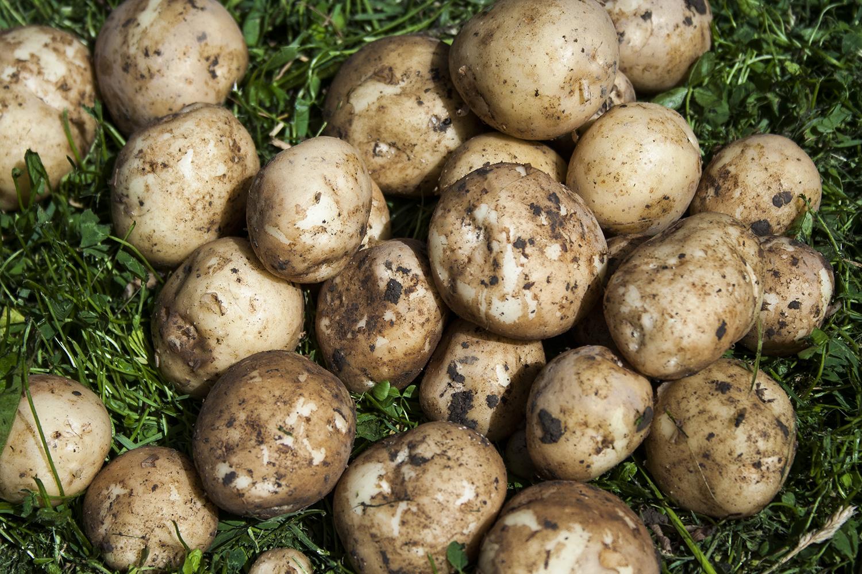 potatis potatis potatis