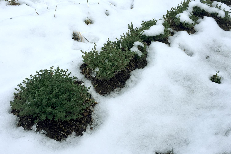 vinterskord-timjan