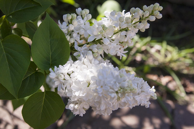 Blommor 11