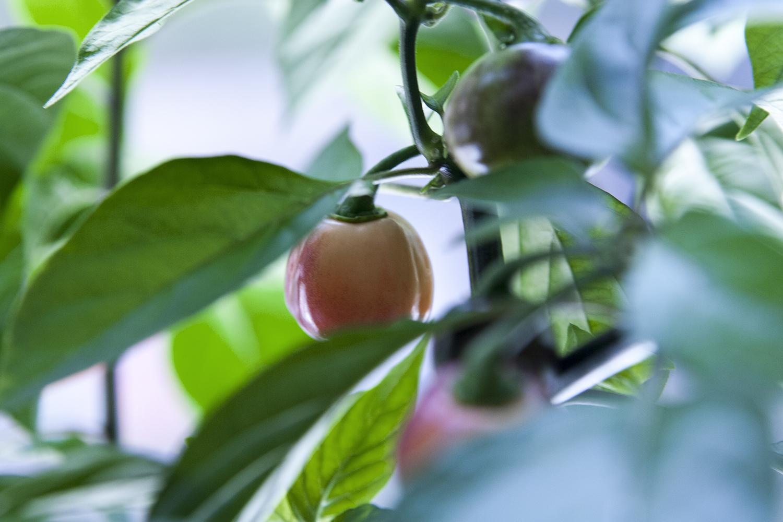 Fruktsam fönsterodling