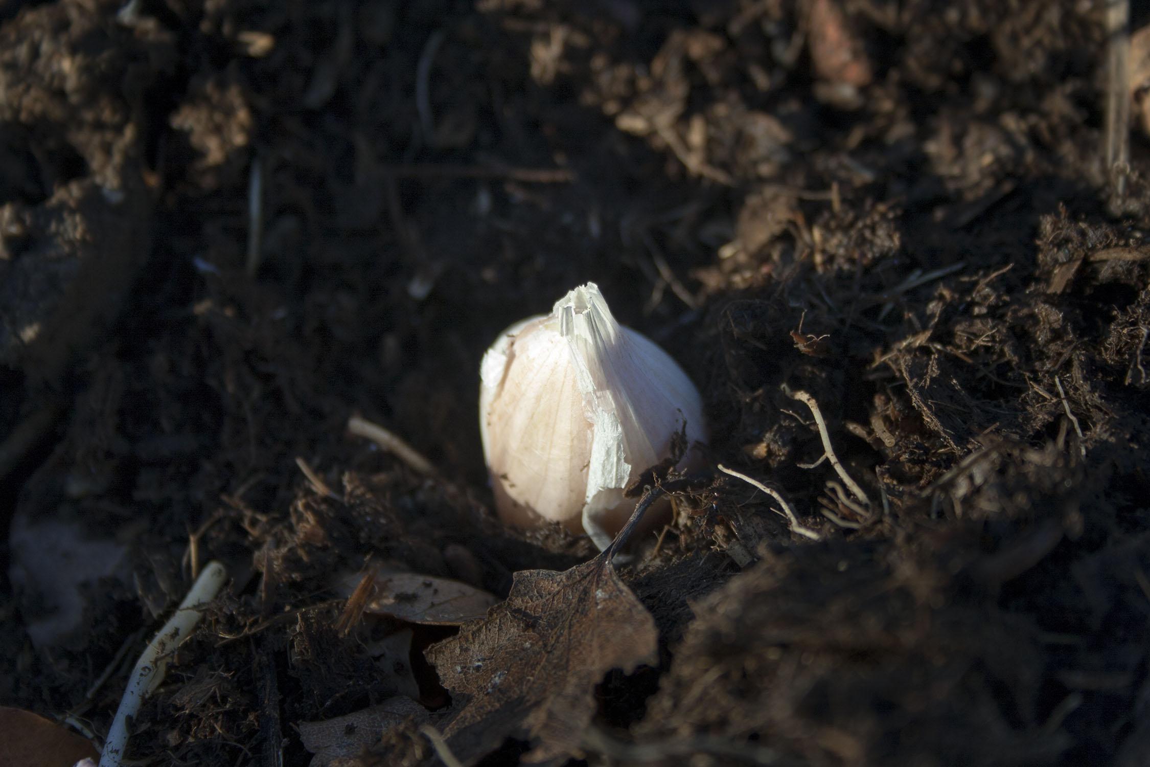 Vitlök – startskottet för odlingsåret 2019