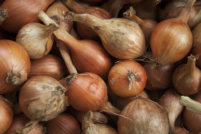 Lök – årets skörd, lagring och odlingstips