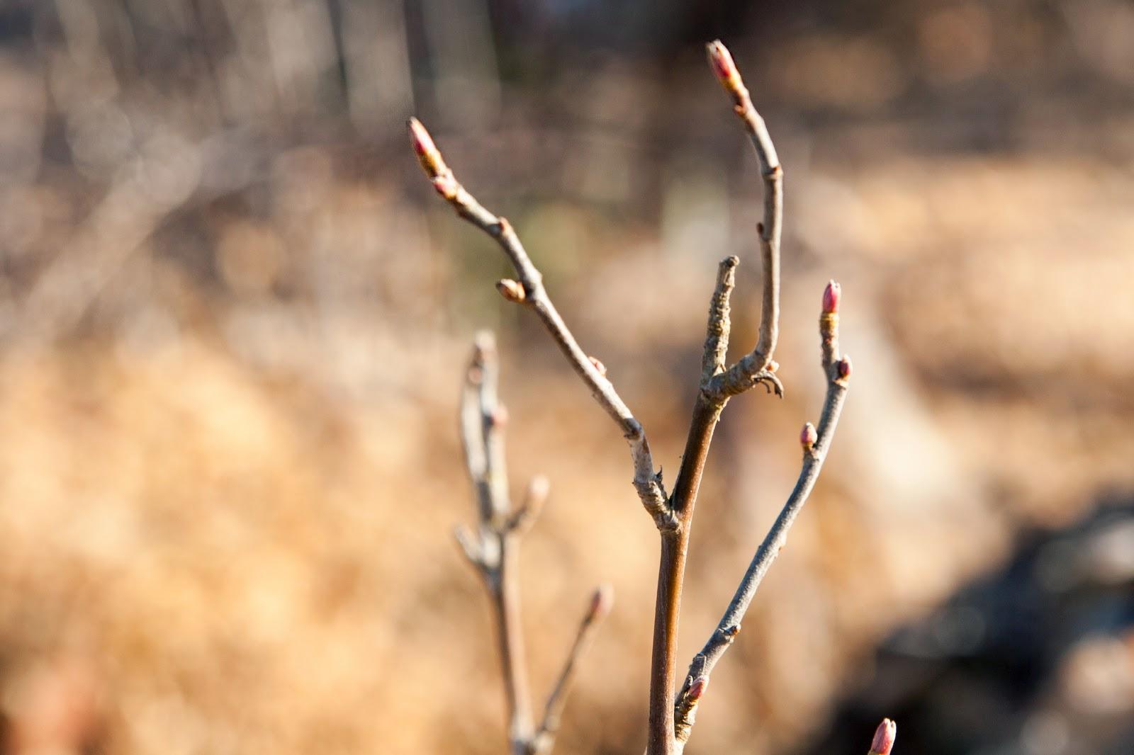 Nya svartvinvärsbuskar