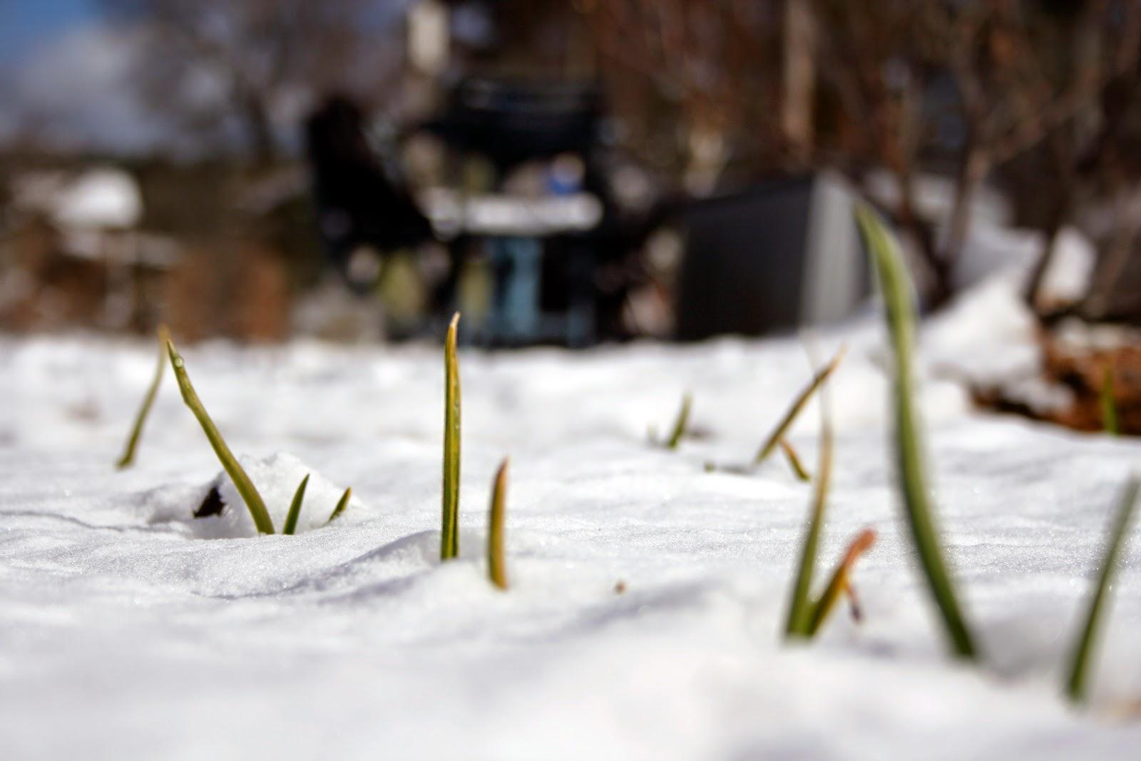 Vintergröna vitlökar