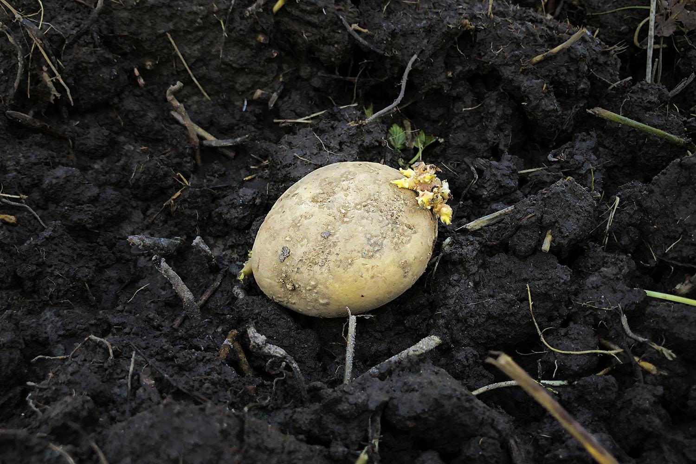 Potatistricket – när du ska börja odla på en igenvuxen yta