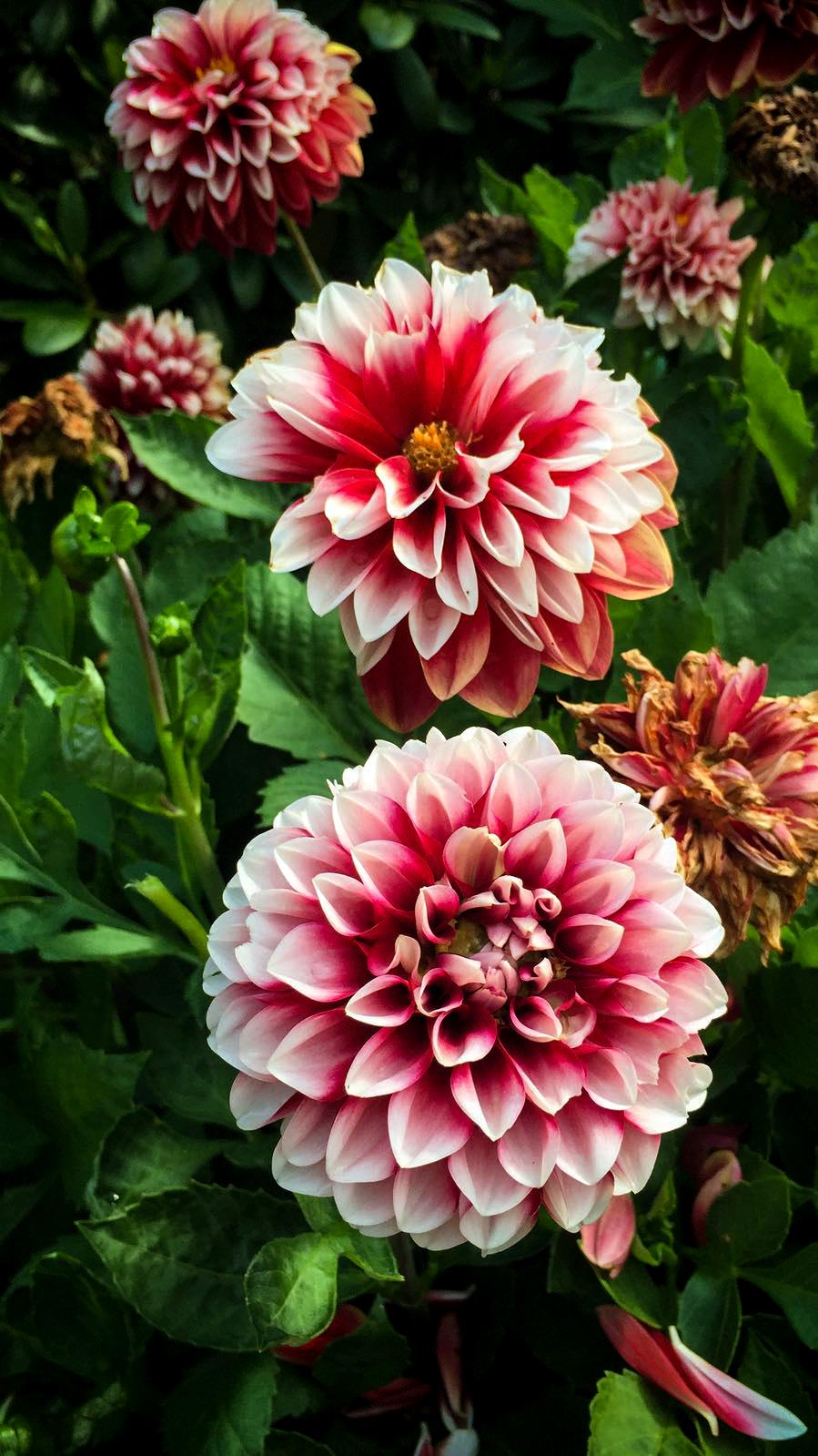 Dahlior från Värmländsk trädgård