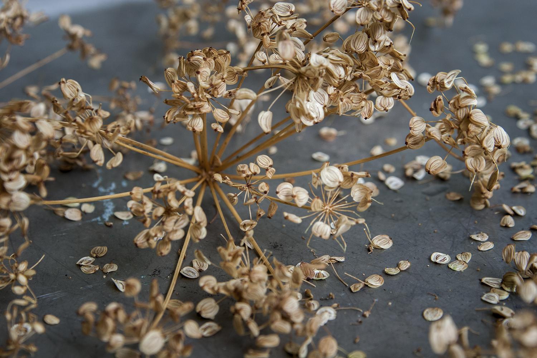 Om frösamlande – palsternacka och bondbönan Arne