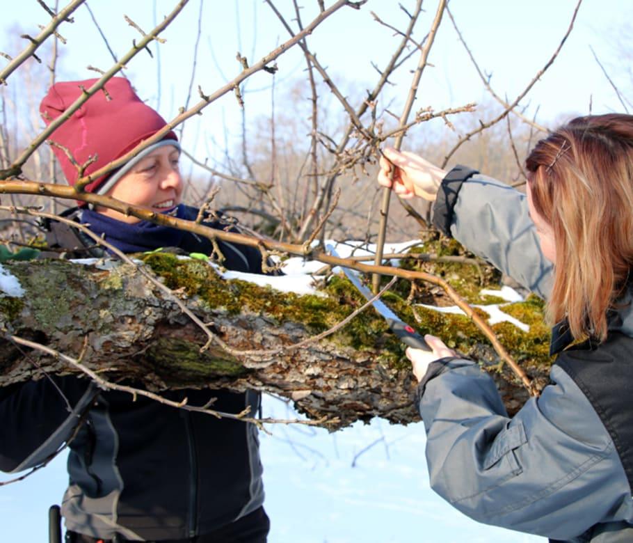 Dags att beskära fruktträden